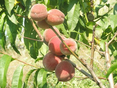 Персик: посадка и правильная