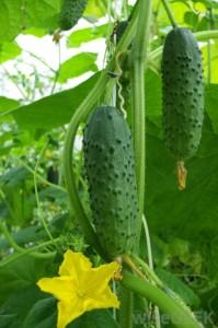 Как выращивать огурцы на корнях кабачков