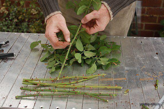 Как сажать розу из букета
